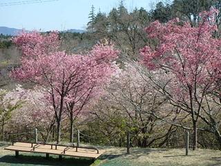 20190312桜 (4).JPG