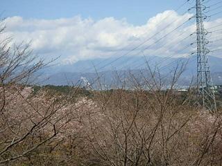 20190312桜 (1).JPG