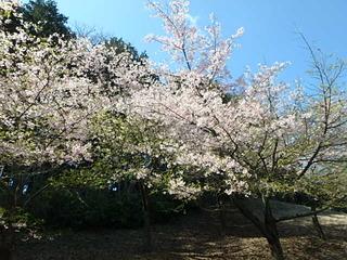 20190312桜 (5).JPG